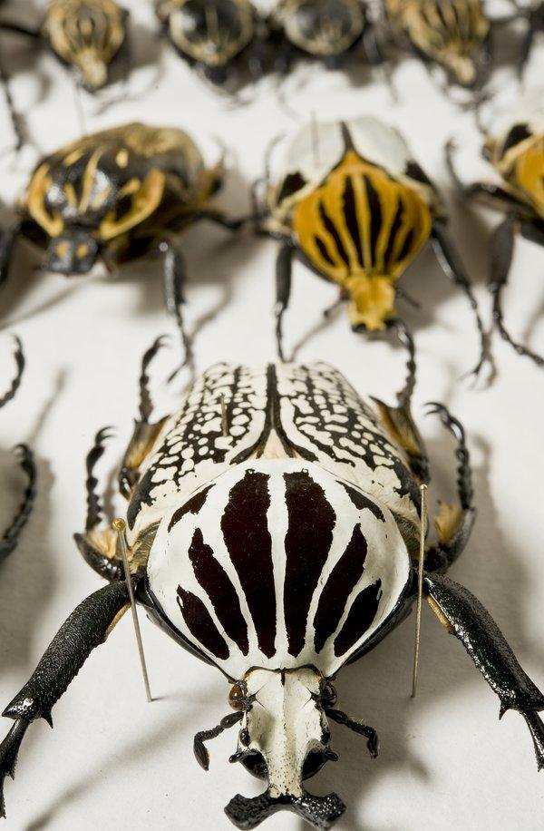 Goliath Beetles (Scarabaeidae: Cetoniinae: Goliathini)