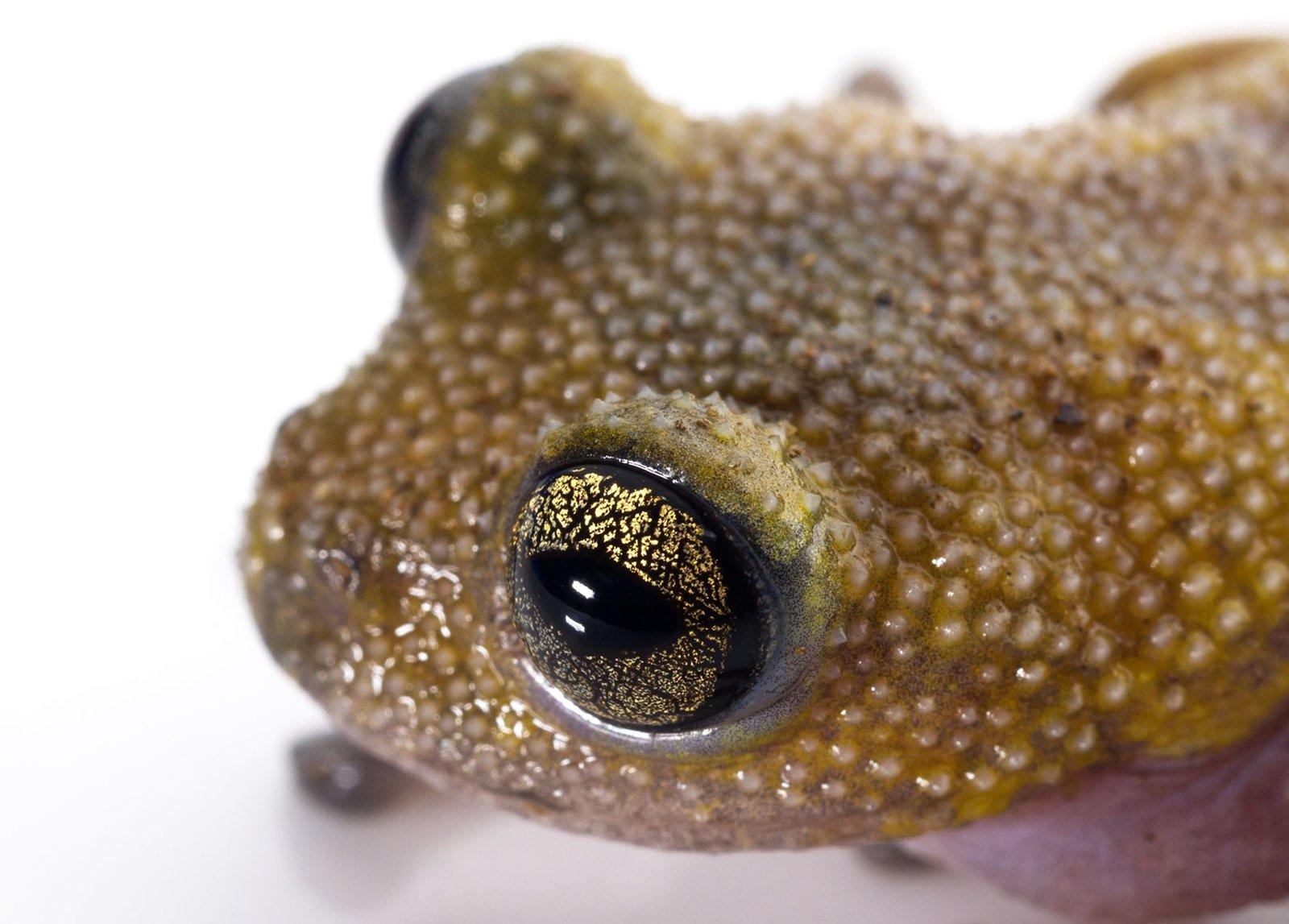 Thorny Tree Frog