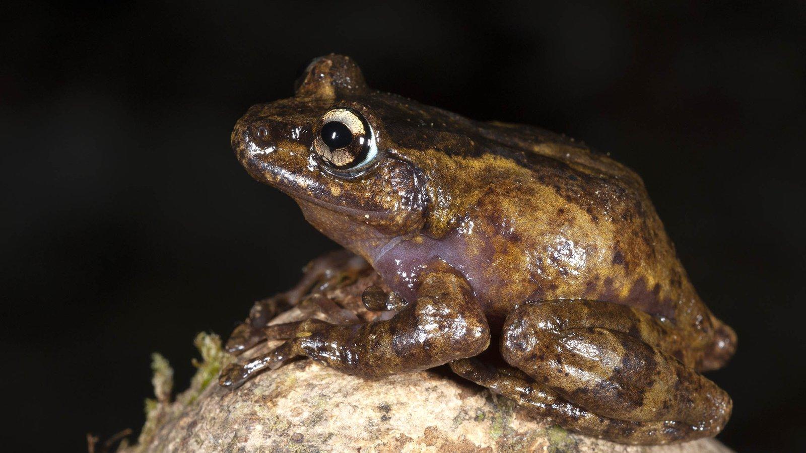 Trieng Tree Frog (Gracixalus trieng), Vietnam.