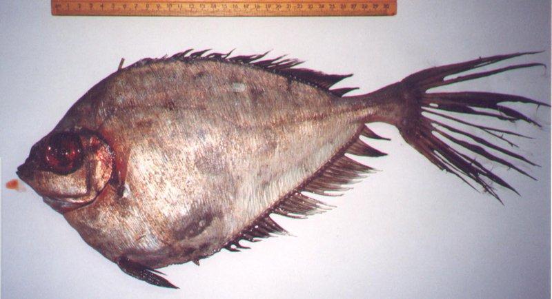 <i>Grammicolepis brachiusculus </i>