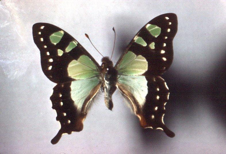 Graphium macleayanum m.