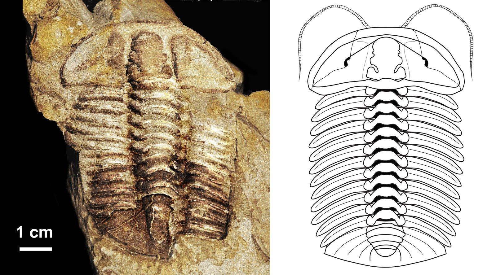 Newly discovered trilobite (Gravicalymene bakeri)