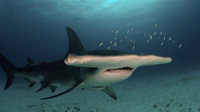 Great hammerhead shark.
