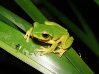 Green Leaf Tree Frog