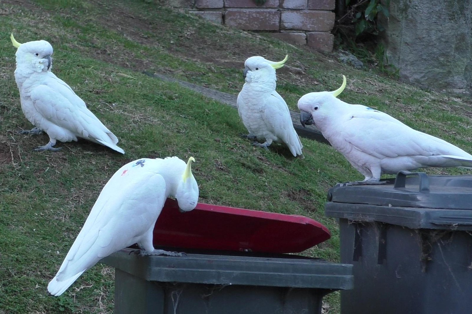 A color-marked sulphur-crested cockatoo lifting the lid of a household bins while several others watch it. The colored dots on the back allow researchers to identify individuals and disappear with the next molt.