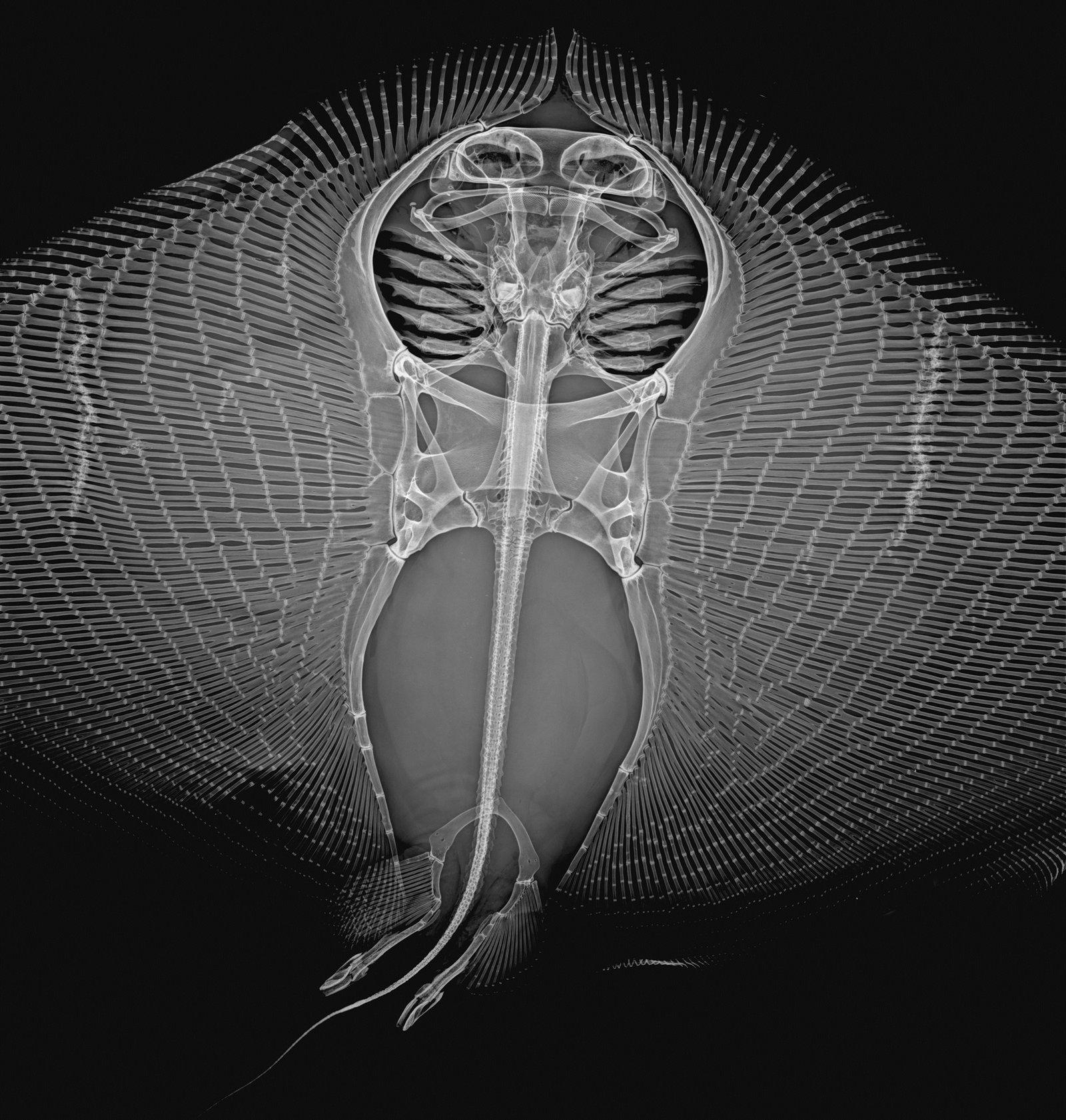 Gymnure australis x-ray