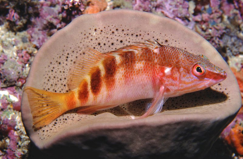 Half-banded Seaperch, Hypoplectrodes maccullochi