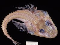 Haswell's Spiny Flathead, Hoplichthys haswelli