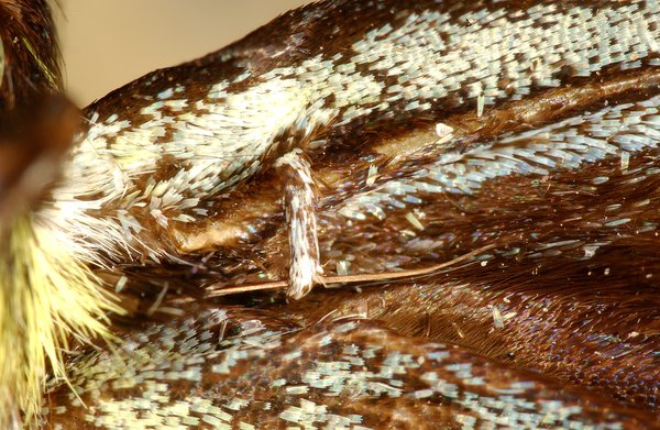 frenulum of male regent skipper