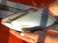 Highfin Amberjack, <i>Serial rivoliana</i>