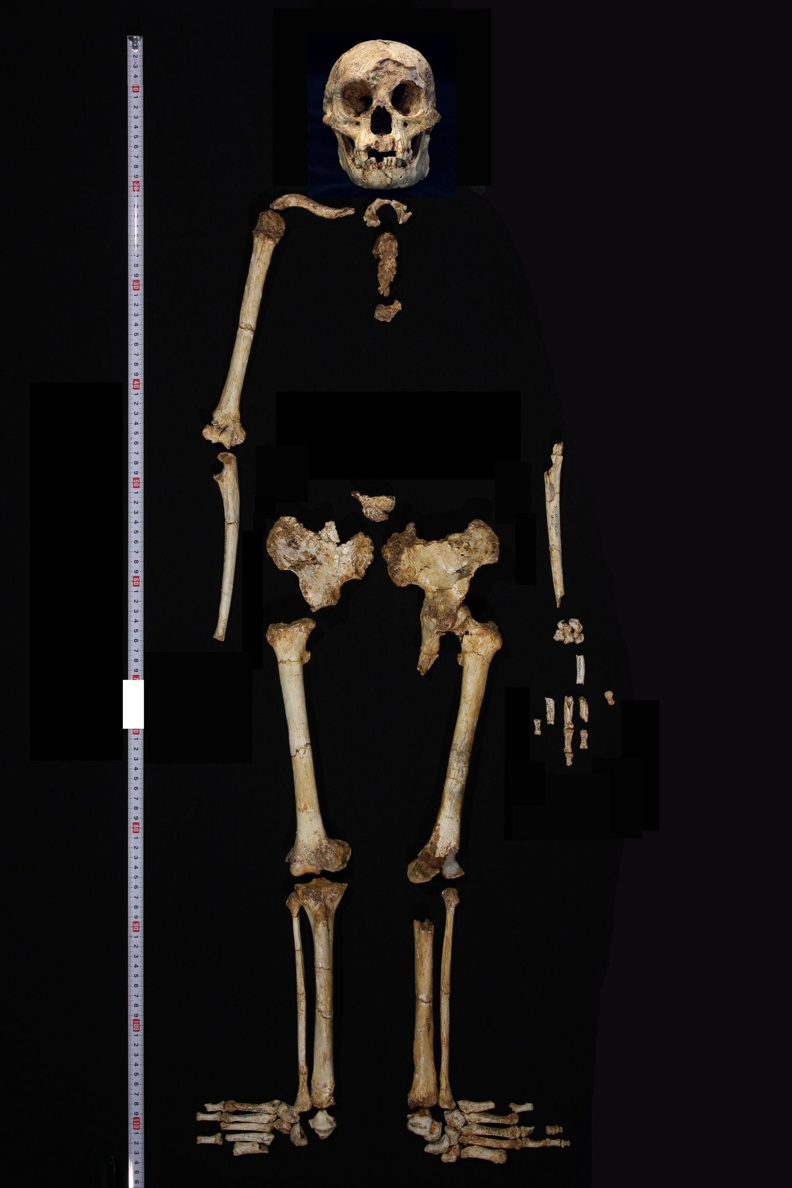 Skeleton of LB1, <i>Homo floresiensis</i>