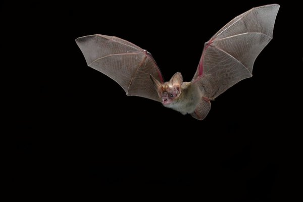 Holt's Long-eared bat