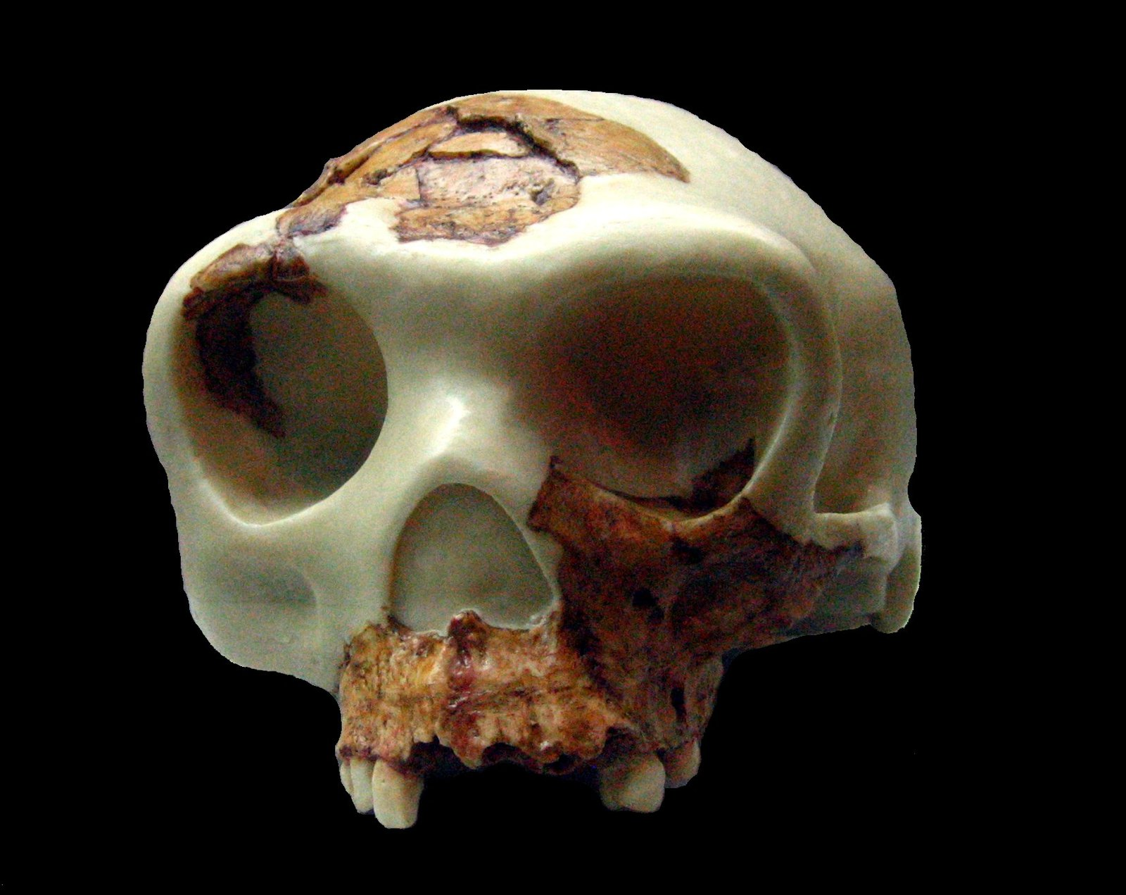 Reconstruction of skull from Gran Dolina (ATD6-15 and ATD6-69)