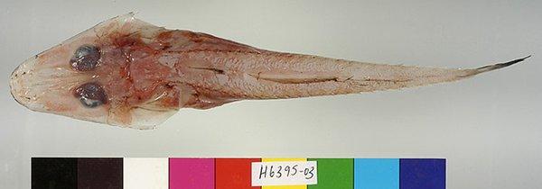 Hoplichthys mcgroutheri dorsal