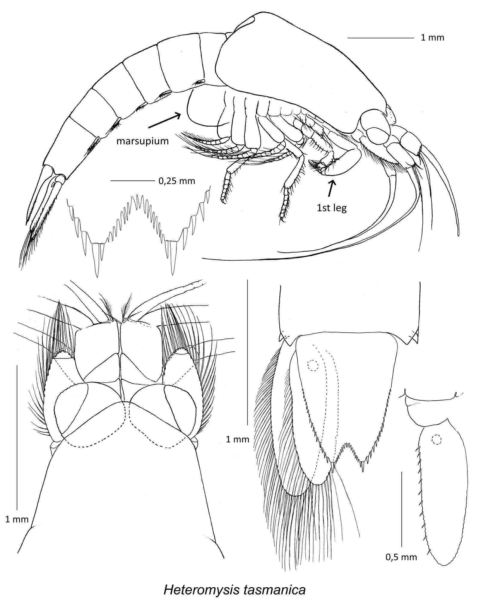 Taxonomic illustrations of Heteromysis tasmanica.