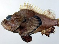 Humpback Scorpionfish, <i>Scorpaenopsis macrochir</i>