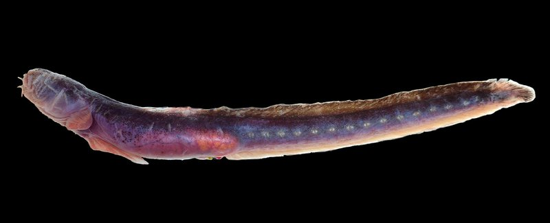 Purple Eelgoby, <i>Taenioides purpurascens</i>