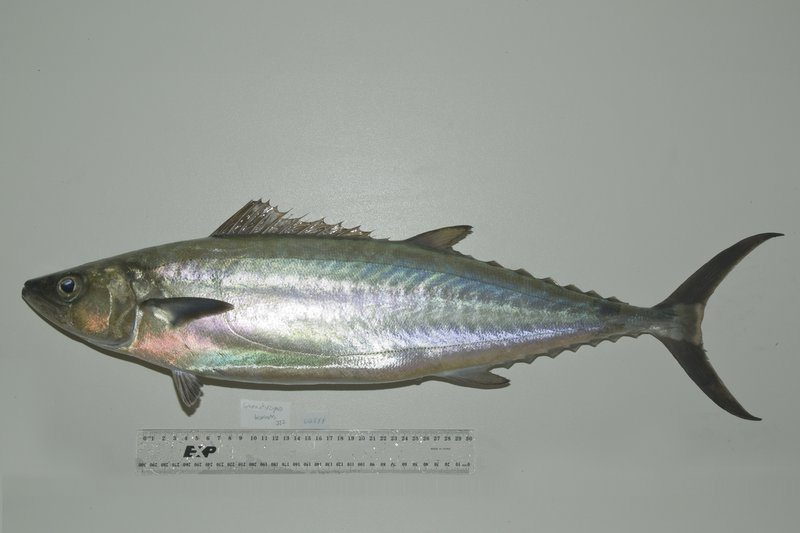 <i>Grammatorcynus bicarinatus</i>