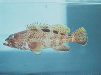 I.22628-008 - Epinephelus hexagonatus (Forster, 1801)