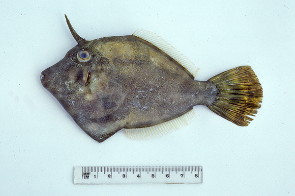 <i>Cantheschenia longipinnis</i>
