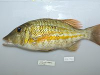 <i>Lethrinus obsoletes</i>