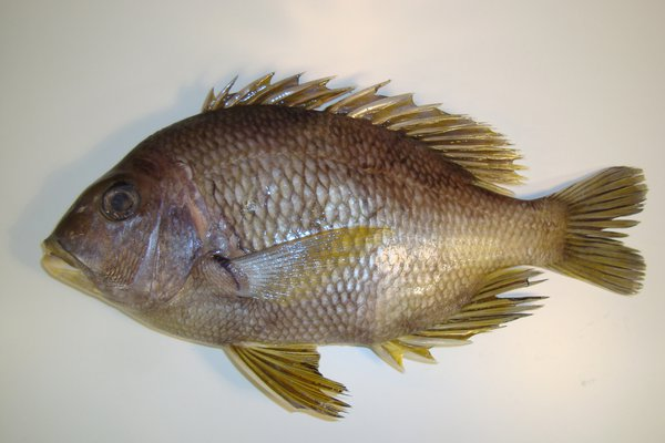 Mozambique Seabream, <i>Wattsia mossambica</i>
