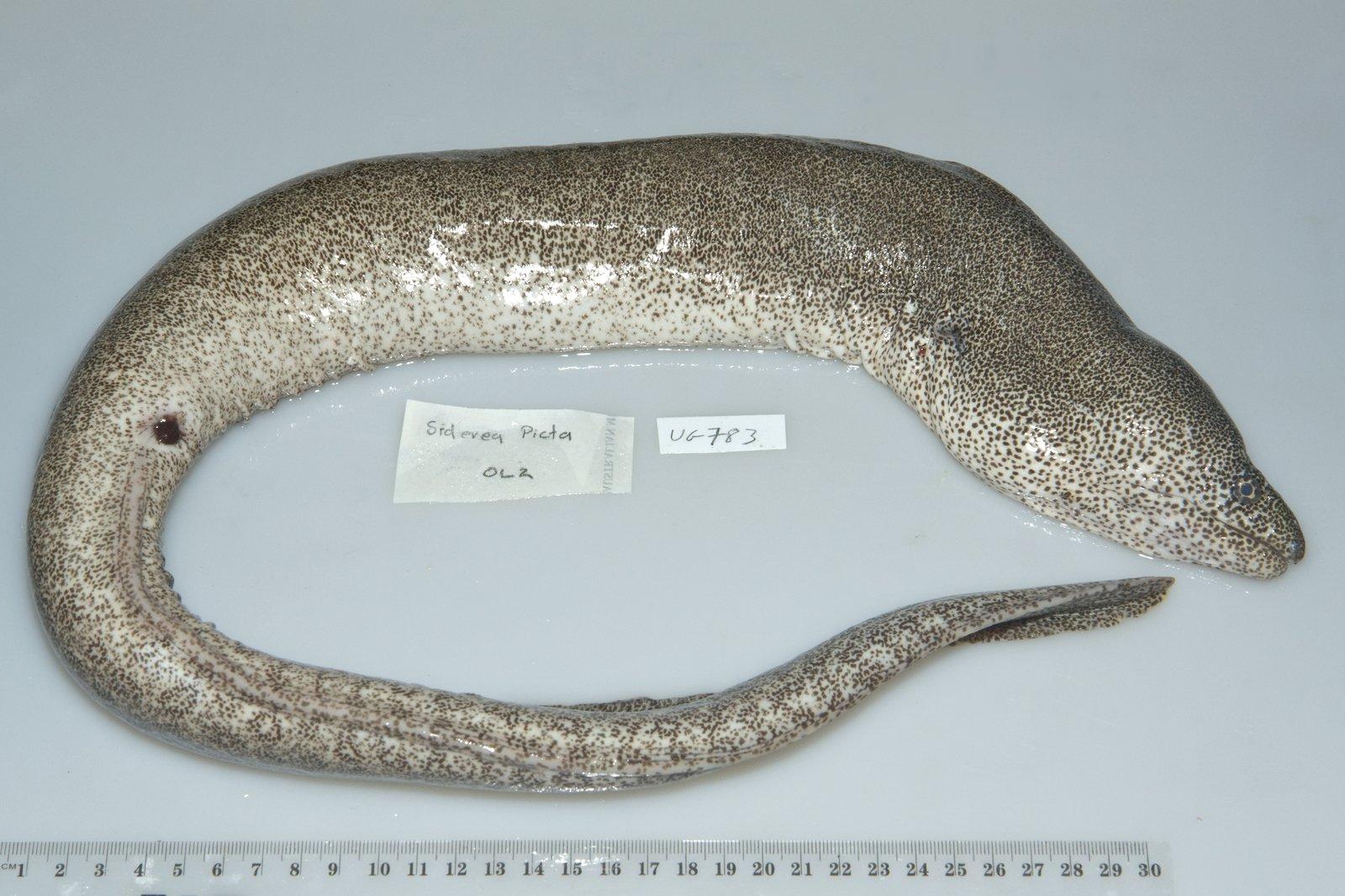 I.44742-012 - Gymnothorax pictus