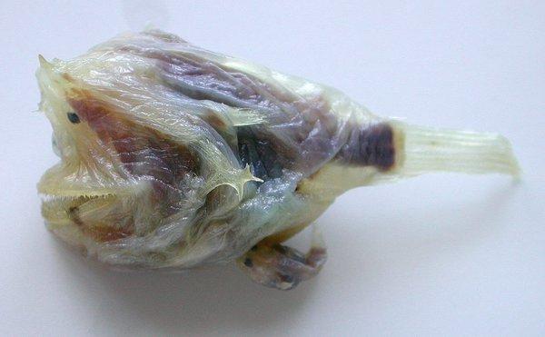 I.20315-009 - Haplophryne mollis