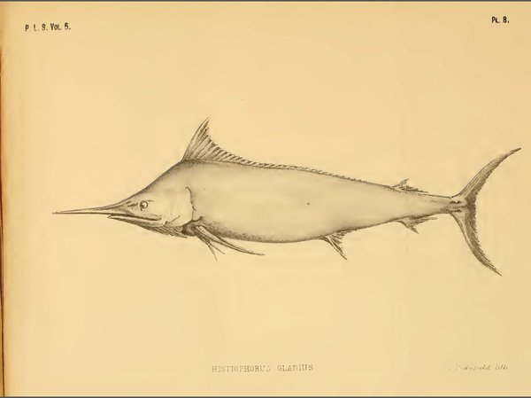 I.2743 Istiompax australis = Makaira indica