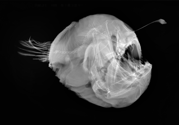I.42778-001 - Melanocetus johnsonii