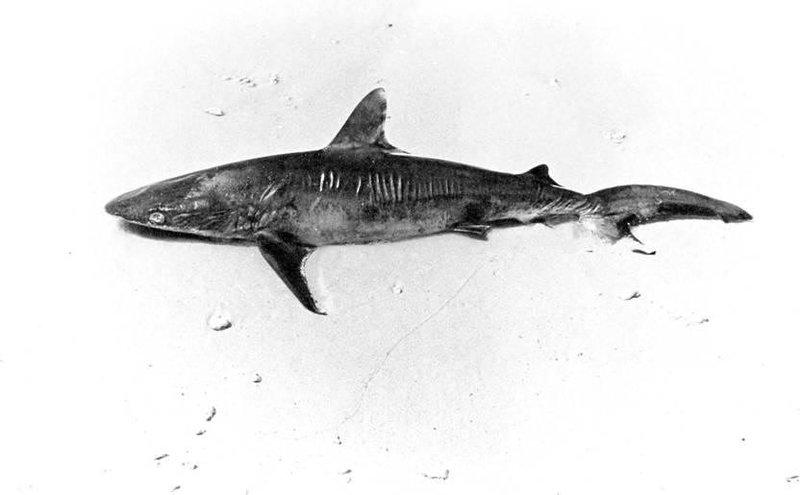 <i>Carcharhinus plumbeus</i>