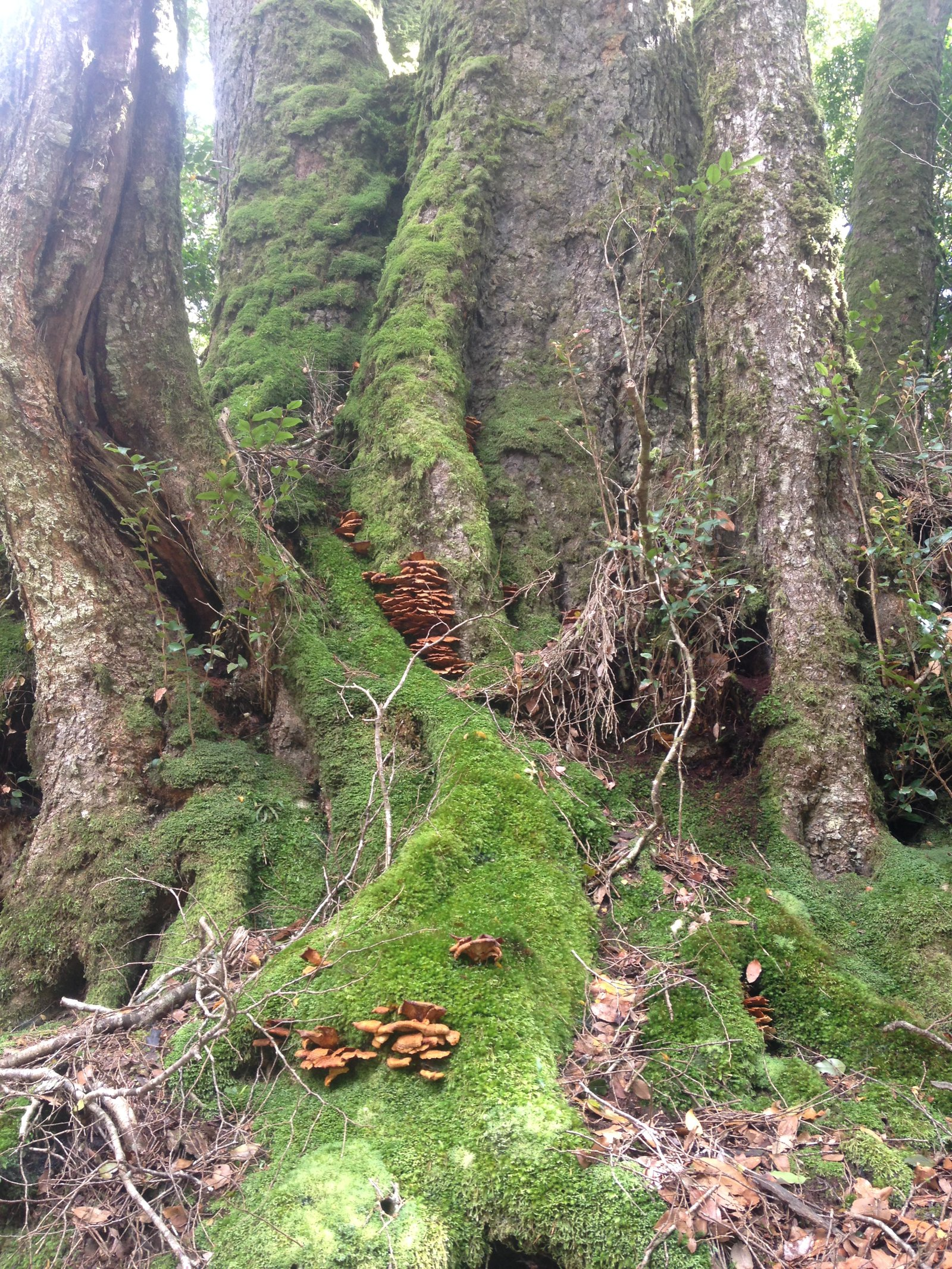 A 2000-year-old southern beech on the summit of the Border Ranges, home to Amphistomus cunninghamensis, one of our target species. Photographer: Chris Reid