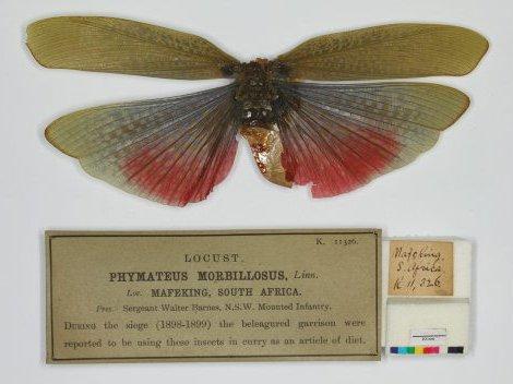 Spoils of war-milkweed grasshopper Phymateus morbillosus