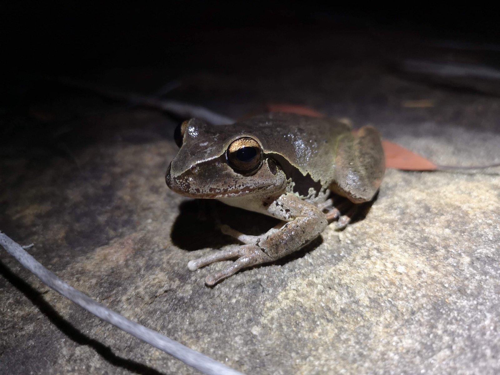 A female Stony Creek Frog