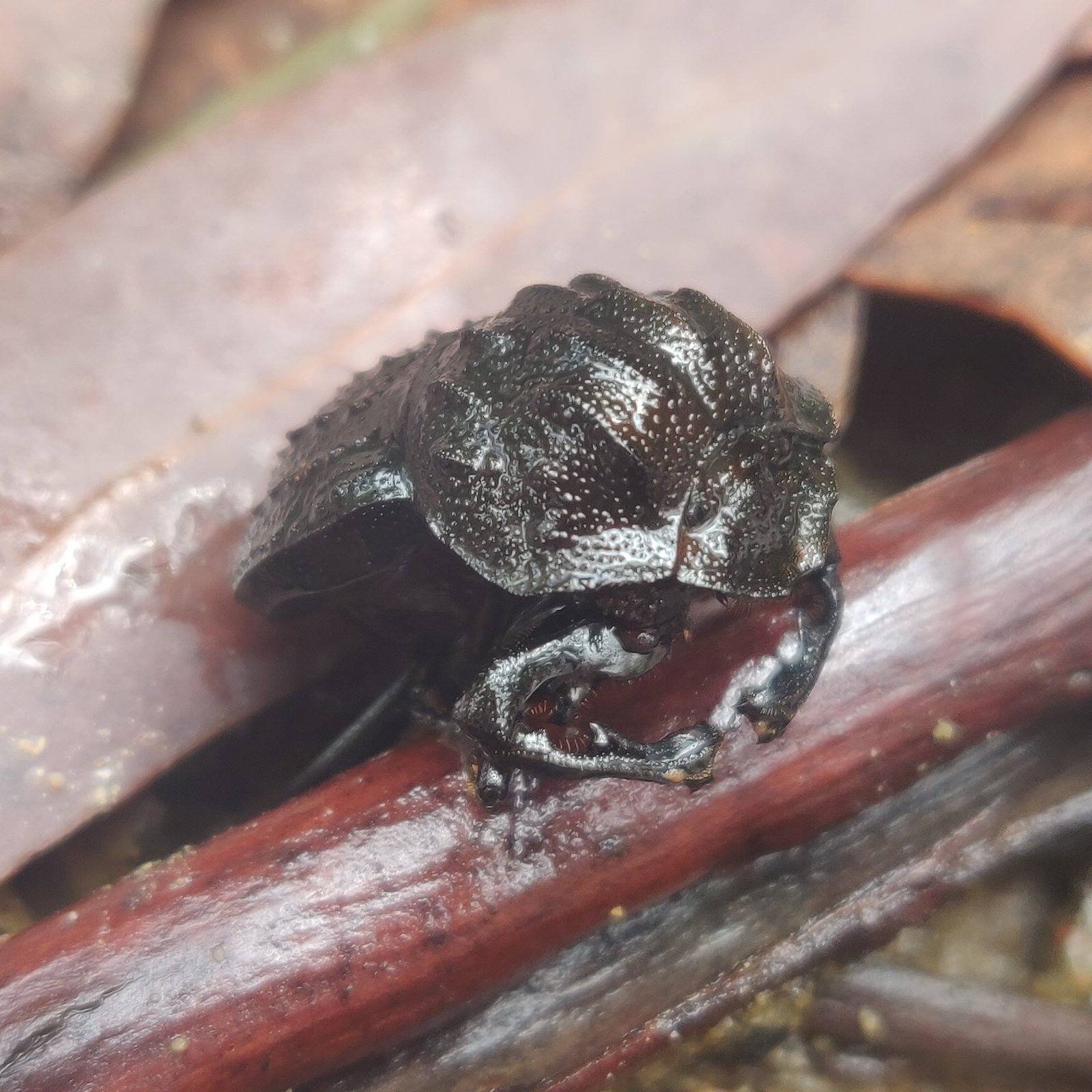 Australia's largest native dung beetle, Aulacopris maximus, one of our target species, collected at Washpool NP