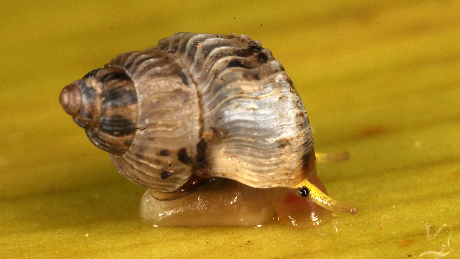 Duritropis albocarinata