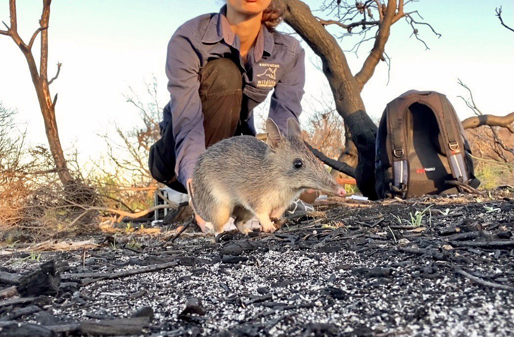 A male long-nosed bandicoot released after being processed. Photographer: Holly Nelson, AWC