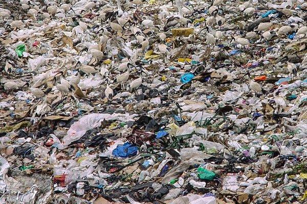 Ibis in landfill