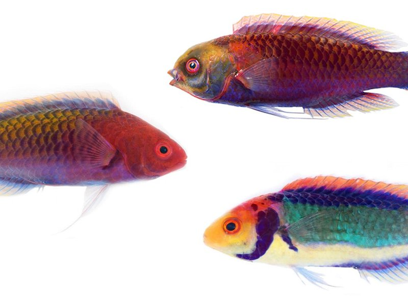 Cirrhilabrus solorensis is presently misapplied to several fishes, its true taxonomic identity shrouded in confusion.
