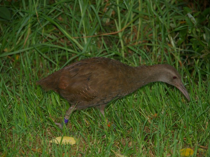 Lord Howe Woodhen with coloured leg-band used to record movements.