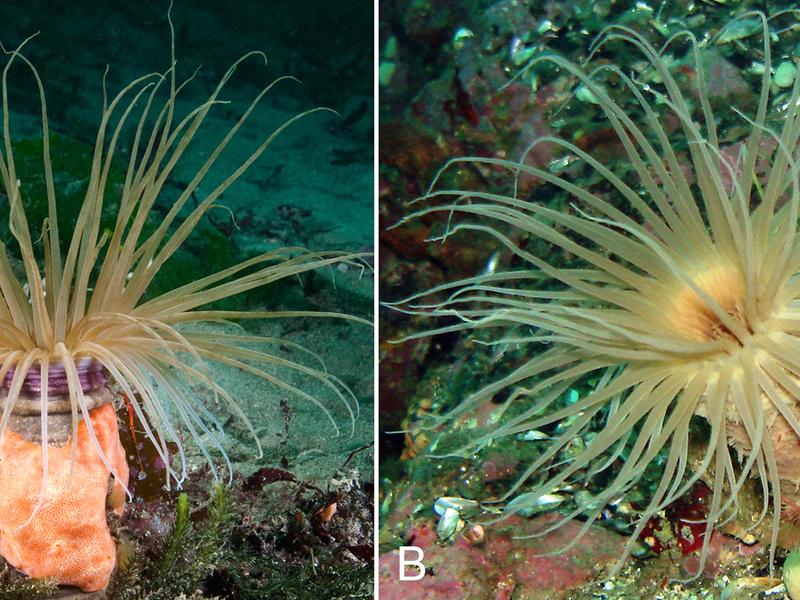 The tube anemone Pachycerianthus fiordlandensis