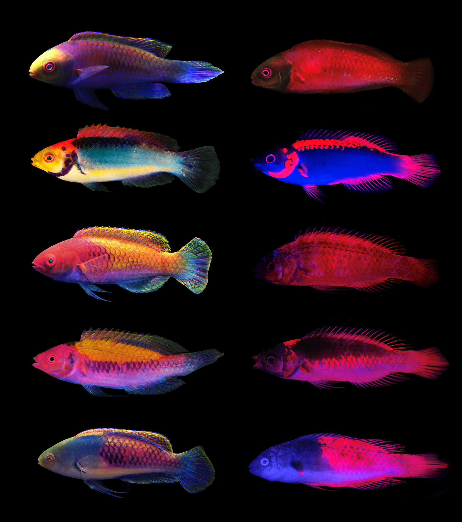 The Cirrhilabrus solorensis complex of fairy wrasses exhibit strong patterns of fluorescence under long wavelengths. These patterns can be used to tell species apart from each other. (A) Cirrhilabrus solorensis; (B) Cirrhilabrus aquamarinus; (C) Cirrhilab