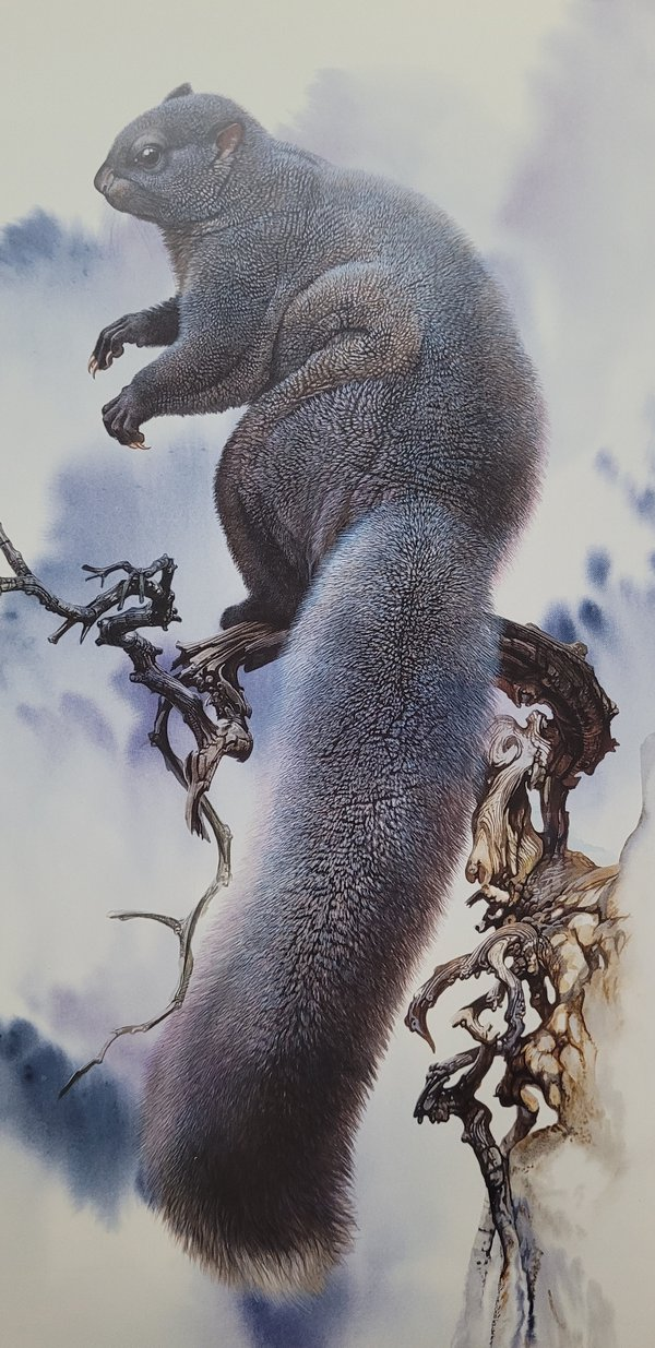 Pakistan Woolly Flying Squirrel (Eupetaurus cinereus).