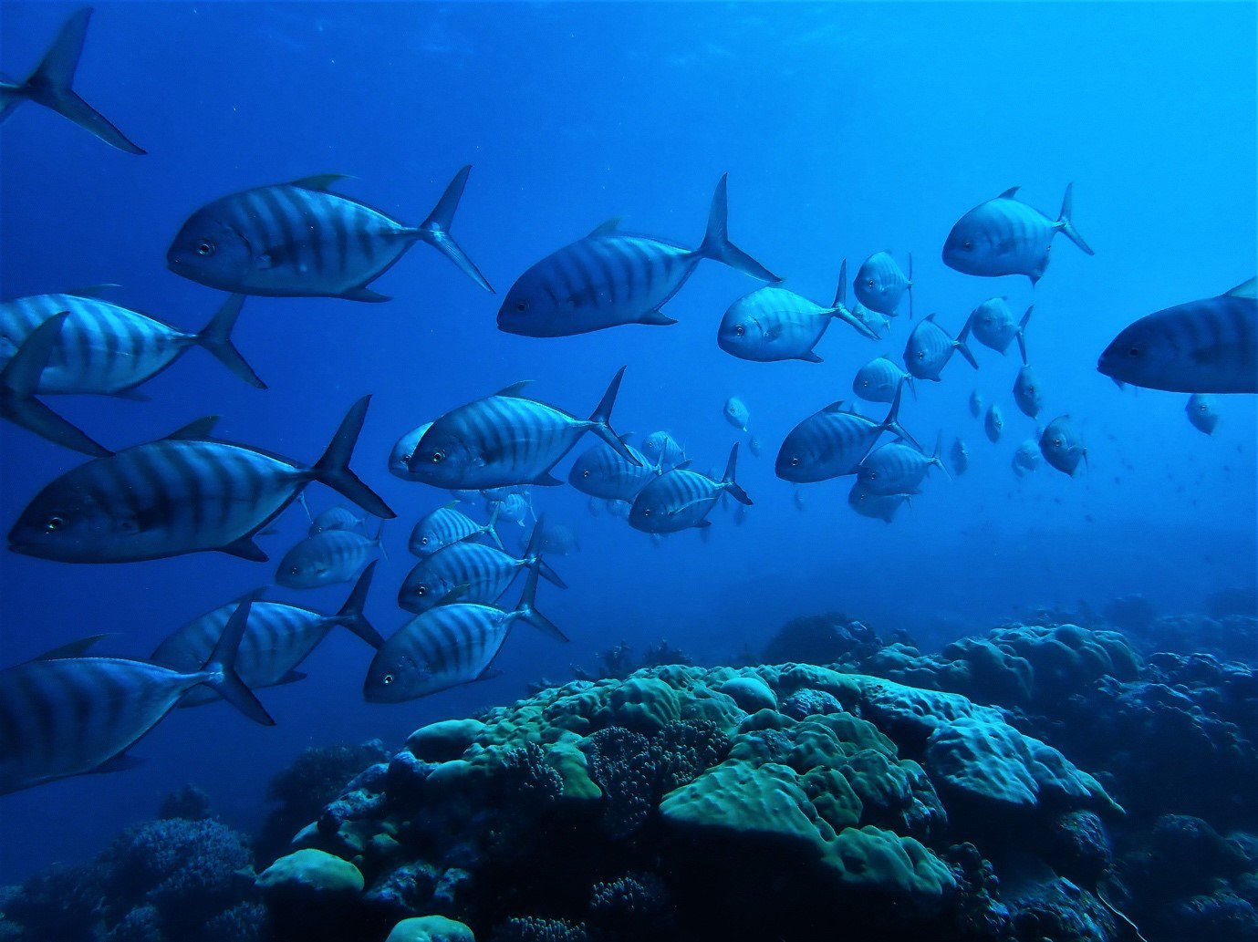 A school of golden trevally (Gnathanodon speciosus) at the Cocos (Keeling) Islands.