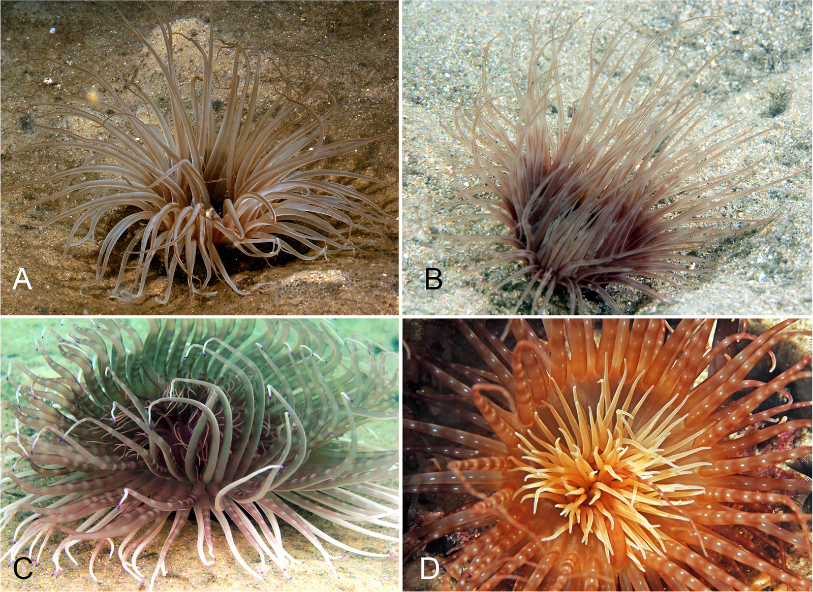 Specimens of the tube anemone Pachycerianthus delwynae in New South Wales, Australia.