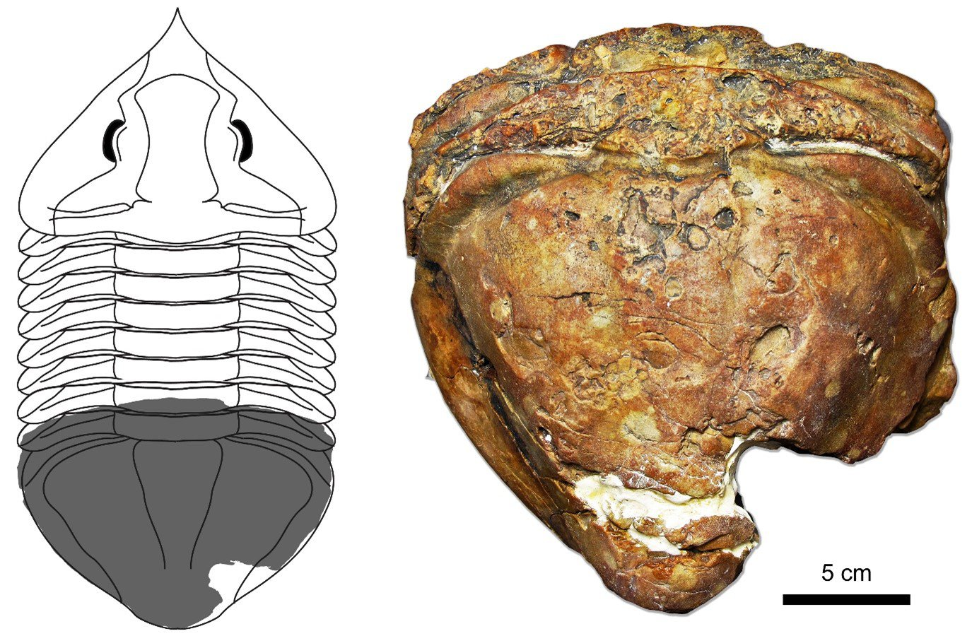 Lycophron titan sp. nov., the holotype specimen on display at Geoscience Australia (right) and a life reconstruction of the animal showing the portion preserved (left).