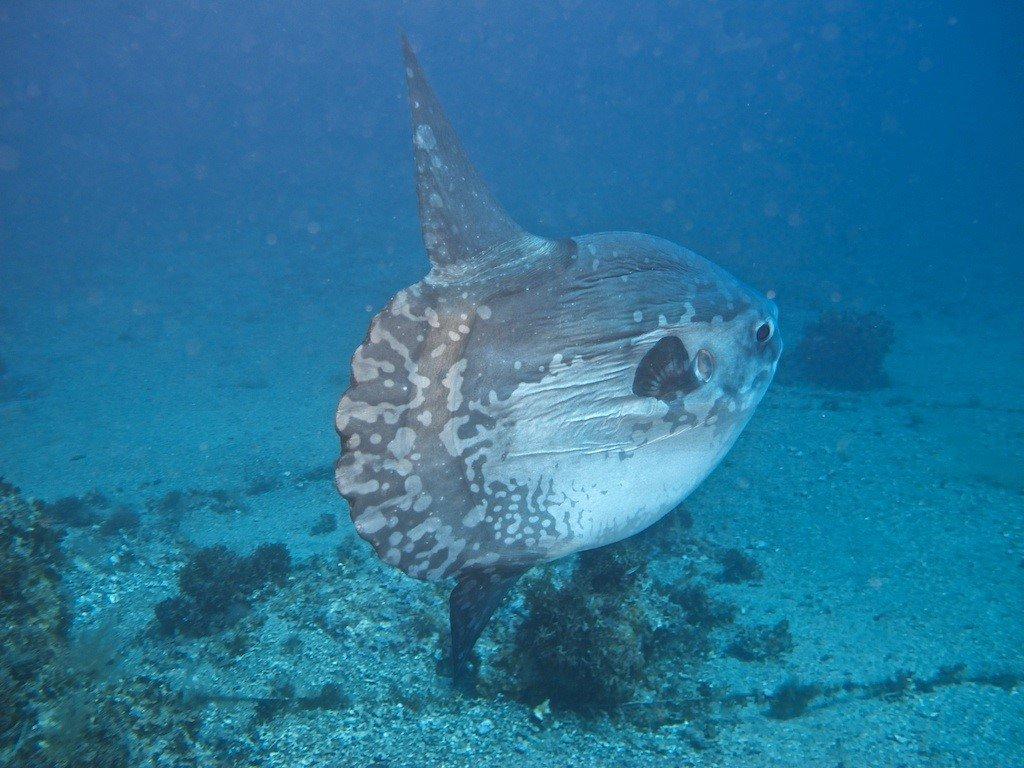 Ocean Sunfish, Mola mola.