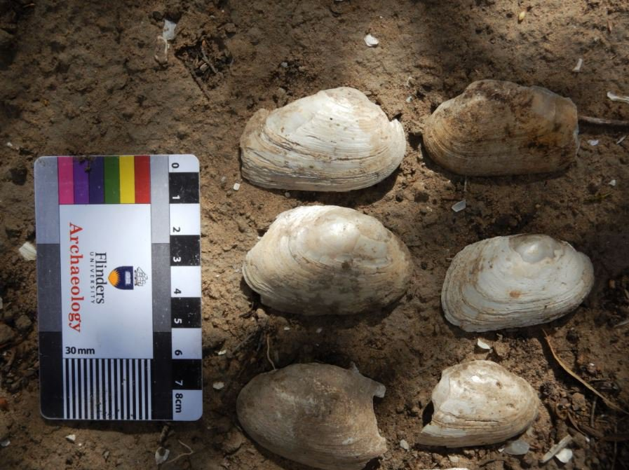 Freshwater mussel, staple food for Aboriginal people of the Riverland for at least 30,000 years.
