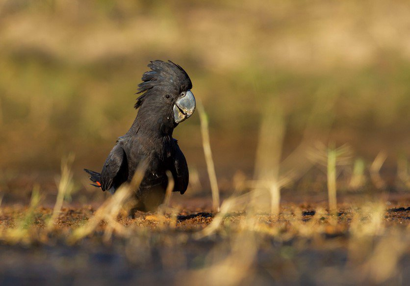 A red-tailed black-cockatoo (Calyptorhynchus banksii macrorhynchus) coming down for a drink near Derby, northern Western Australia.