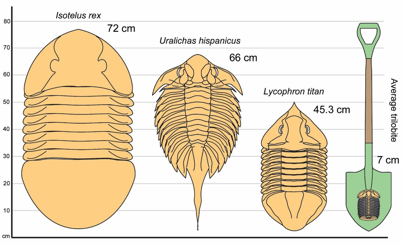 Size comparison for a few of world's largest trilobites. Lycophron titan sp. nov. (second right) is potentially the world's third largest trilobite. An average trilobite and typical shovel have been added for scale.